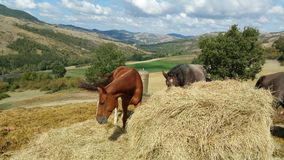 Horses grazing in the fields Stock Photography