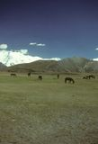 Horses grazing on flat steppes stock image