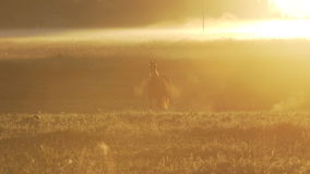 Horses grazing on a foggy pasture during sunrise stock video