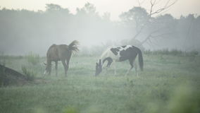 Horses grazing on a foggy pasture stock video footage
