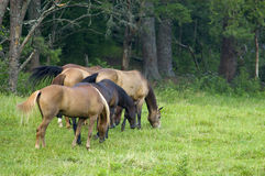 Horses Grazing at Forest Edge. Group of horses grazing near the edge of a forest Stock Photos