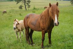 Horses grazing on a forest meadow royalty free stock images