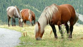 Horses grazing in freedom. Three beautiful horses with a long blonde horsehair grazing in freedom, in a meadow of the Pyrenees of Andorra stock video