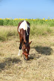 Horses grazing grass Royalty Free Stock Image