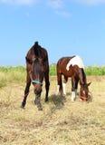 Horses grazing grass Stock Photos