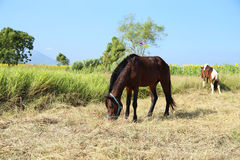 Horses grazing grass Stock Images