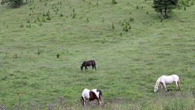 Horses grazing grass stock video footage