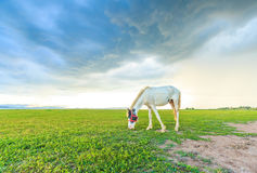 Horses are grazing grass Royalty Free Stock Image