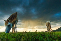 Horses are grazing grass Stock Images