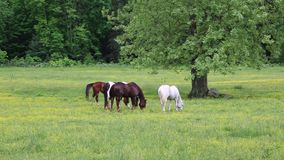 Horses grazing stock video