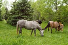 Horses grazing green grass Stock Photo