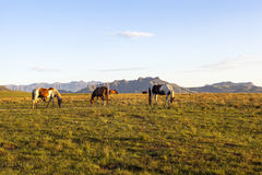 Horses grazing on green grass Royalty Free Stock Photography
