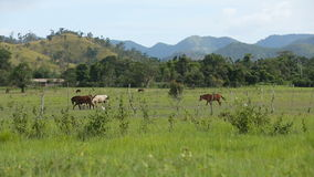 Horses grazing in green meadow. stock video footage