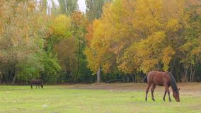 Horses grazing on green meadow stock video footage
