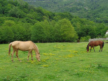 Horses grazing on green meadow among wildflowers Stock Image