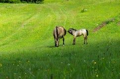 Horses. Grazing horses on green mountain meadows, Slovakia Stock Photos