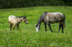 Horses. Grazing horses on green mountain meadows, Slovakia Royalty Free Stock Image