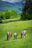 Horses. Grazing horses on green mountain meadows, Slovakia Royalty Free Stock Photos
