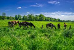 Horses grazing in green pasture. Stock Photo