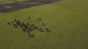 Horses grazing is green pasture.Horses graze in a field. Aerial view on brown horse on a green meadow. stock footage