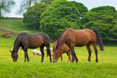 Horses grazing is green pasture. Stock Photography