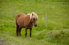 Horses grazing on green pastures.  Stock Photos