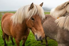 Horses grazing on green pastures.  Royalty Free Stock Images