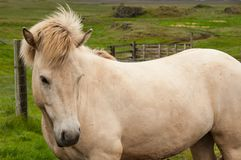 Horses grazing on green pastures.  Royalty Free Stock Photography