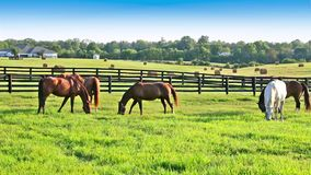 Horses grazing on green pastures of horse farm. stock footage