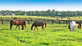 Horses grazing on green pastures of horse farm. Country summer landscape