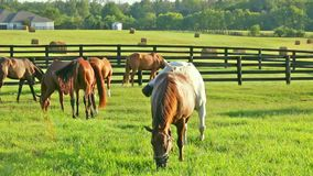 Horses grazing on green pastures of horse farm.. Country summer landscape. Two loving horses at horse farm stock footage