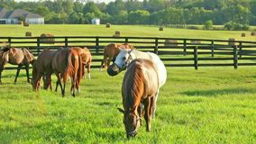 Horses grazing on green pastures of horse farm. Country summer landscape. Two loving horses at horse farm. Horses grazing on green pastures of horse farm stock video footage