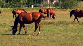 Horses grazing on green pastures of horse farm, part 3 of 8 stock footage