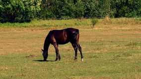 Horses grazing on green pastures of horse farm, part 5 of 8 stock video