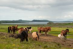 Horses grazing on green pastures.  Royalty Free Stock Image