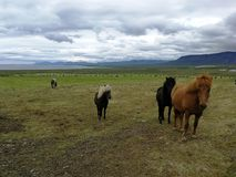 Horses grazing on green pastures.  Stock Image