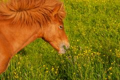 Horses grazing on pasture. Horses grazing on green pastures royalty free stock photos