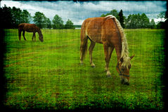 Horses grazing grunge Stock Photography