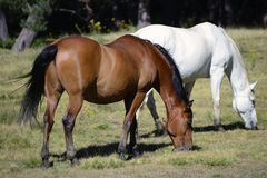 Horses grazing. Horses grzing in green meadow Stock Photo