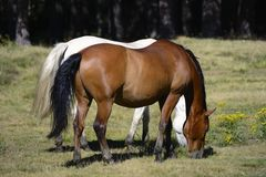 Horses grazing. Horses grzing in green meadow Stock Photos