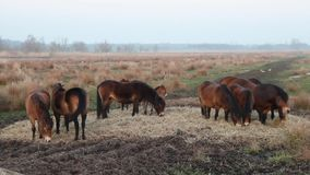 Horses grazing hay stock video
