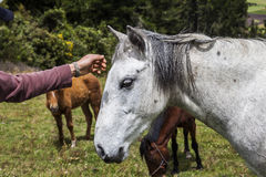 Horses grazing on the heights of the mountains Stock Image