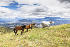 Horses grazing on the heights of the mountains Royalty Free Stock Photos