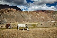 Horses grazing in Himalayas. Ladakh, India Stock Photography