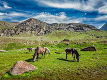 Horses grazing in Himalayas Stock Photography