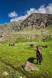 Horses grazing in Himalayas Stock Photos