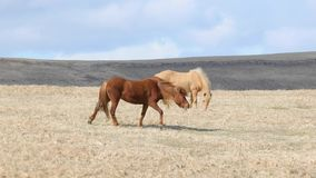 Horses grazing in Iceland stock footage