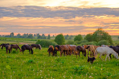 Horses Grazing In The Meadow At Sunset Royalty Free Stock Photos