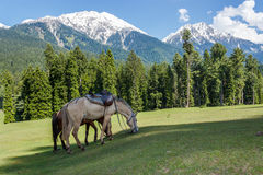 Horses grazing, Jammu and Kashmir, Mini Switzerland. Baisaran, also known as Mini Switzerland in Jammu and Kashmir state of northern India. Surrounded by snow Royalty Free Stock Photos
