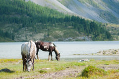 Horses grazing on the lake Akkem. Trekking in the Altai Mountains Stock Photo